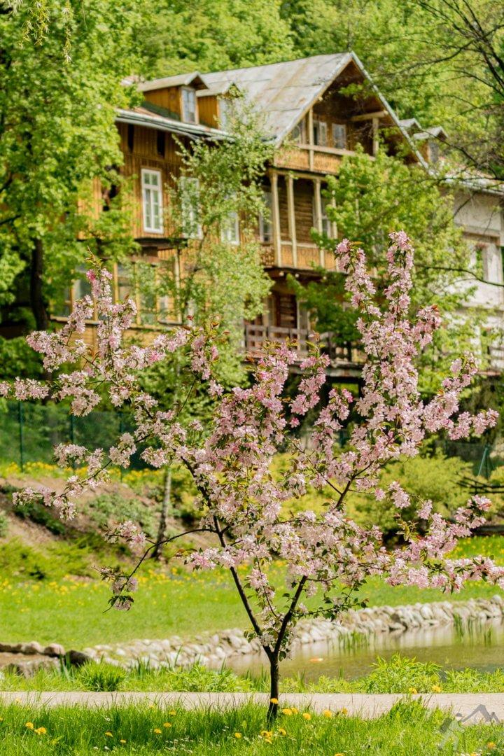 Kwitnąca jabłoń. Park Szczawnica