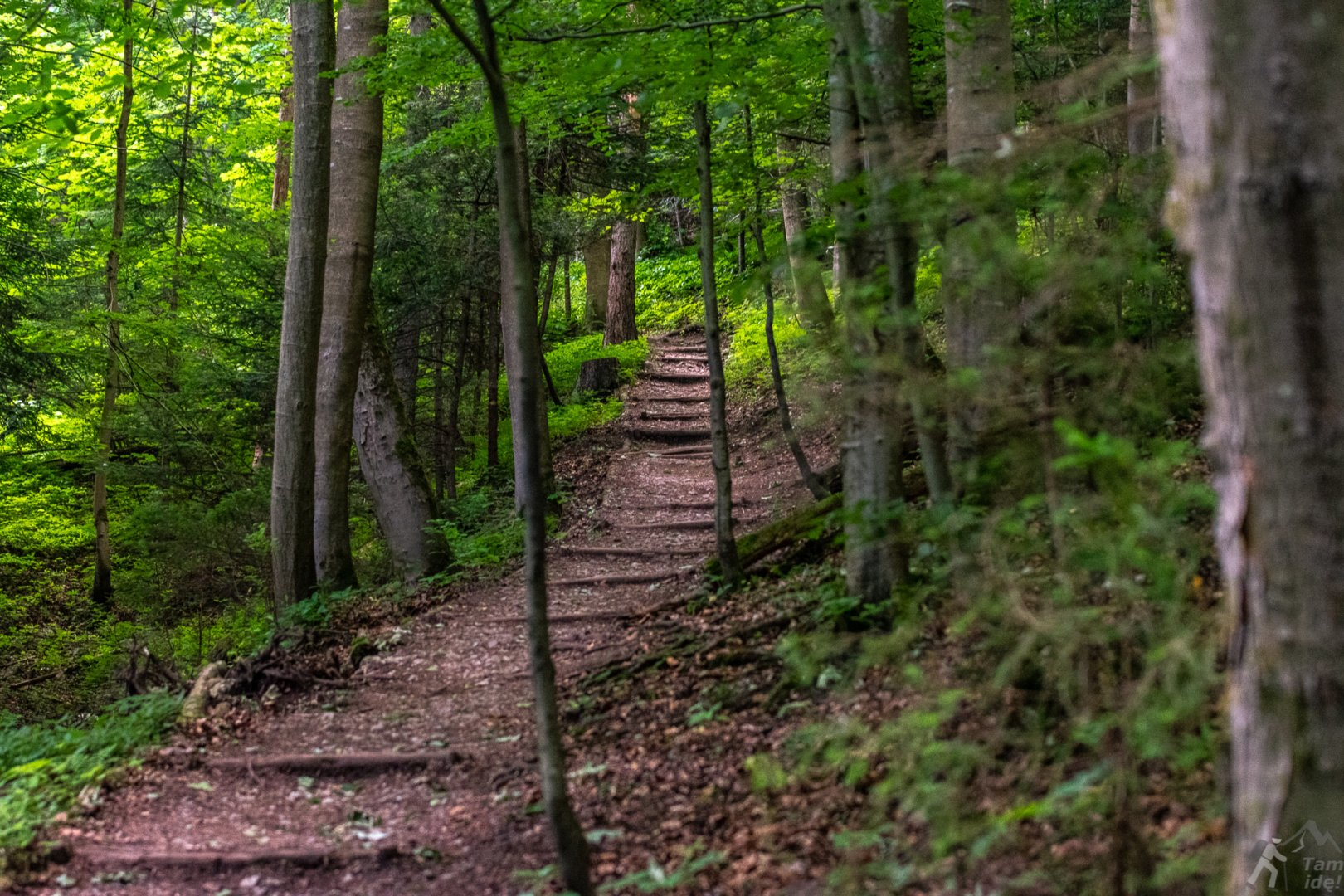 Szlak Niebieski ze Szczawnicy do przełęczy pod Szafranówką